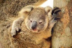 Cute Koala on the tree Stock Photo