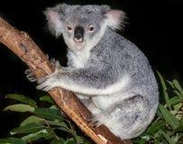 Cute koala in tree Stock Photos