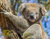 A cute koala in a tree, raymand island, australia royalty free stock image