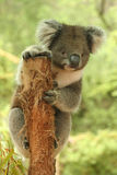 Cute Koala on tree stump Royalty Free Stock Image