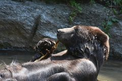 Cute kodiak grizzly playing with a branch. Wild kodiak grizzly playing in the water with a tree branch Stock Photo