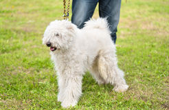 Cute Komondor dog in the park Stock Image