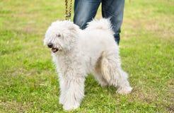 Cute Komondor dog in the park. Dog portrait Stock Image