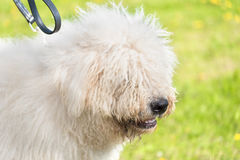 Cute Komondor dog in the park Stock Photography