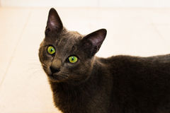 Cute Korat cat. Korat domestic cat the amber eyes cat looking at camera Royalty Free Stock Image