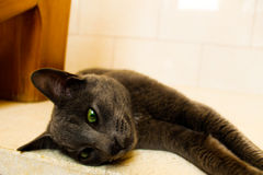 Cute Korat cat. Beautiful Korat cat with green eyes in my house Stock Photography