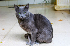 Cute Korat cat. Beautiful Korat cat siting with strong look Royalty Free Stock Image