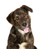 Cute Lab Mix. Cute, young, black and brown lab mix dog with curious expression, isolated on white Royalty Free Stock Images