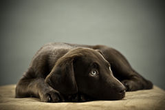 Cute Lab puppy Stock Photography
