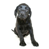 Cute Lab Puppy Stock Images