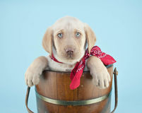 Cute Lab Puppy Royalty Free Stock Photos