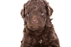 Cute Labradoodle Puppy Stock Photo