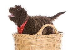 Cute Labradoodle Puppy in a Basket Stock Image