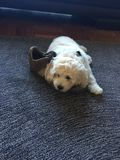 Labradoodle pup royalty free stock photo