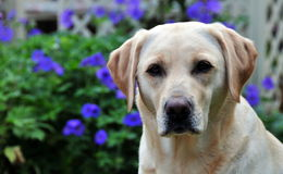 Cute labrador Royalty Free Stock Images