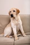 Cute Labrador Stock Image
