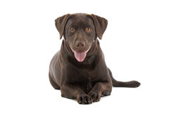 Cute Labrador Stock Photography