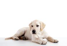 Cute labrador dog Royalty Free Stock Photos