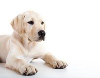 Cute labrador dog Royalty Free Stock Photography