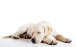Cute labrador dog. Studio portrait of a beautiful and cute labrador dog sleeping Stock Images