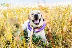 Cute labrador dog laughing and lying in the meadow royalty free stock photo