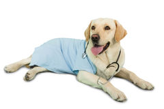 Cute labrador dog lying on floor wearing scrubs and stethoscope Royalty Free Stock Image