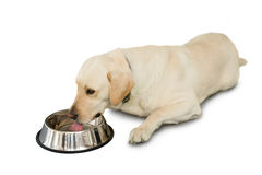 Cute labrador dog lying beside water bowl Royalty Free Stock Images