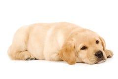 Cute labrador dog sleeping royalty free stock photography