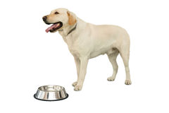 Cute labrador dog standing beside water bowl Stock Image