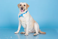 Cute labrador dog in studio Royalty Free Stock Images