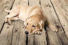 Cute labrador dog on wooden background royalty free stock image
