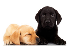 Cute labrador puppies Royalty Free Stock Photo