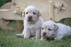 Cute labrador puppies. On the grass royalty free stock image