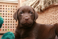 Cute labrador puppy. Chocolate labrador puppy relaxing at home Stock Image