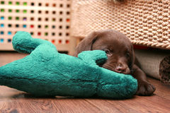 Cute labrador puppy. Chocolate labrador puppy chewing his toy Royalty Free Stock Photos