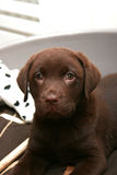 Cute labrador puppy. Chocolate labrador puppy relaxing in his bed Stock Image