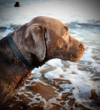 Cute labrador puppy. Chocolate labrador puppy looking out to sea Royalty Free Stock Photo