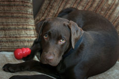 Cute labrador puppy. Chocolate labrador puppy relaxing on the sofa Royalty Free Stock Photo