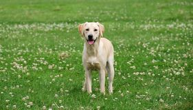 Cute labrador puppy Stock Photo