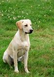 Cute labrador puppy stock photography