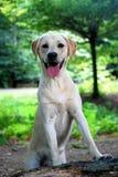 Cute Labrador Puppy Stock Photo