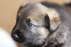 Cute. Labrador puppy against a blurry background Royalty Free Stock Images