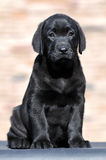 Cute labrador puppy Stock Photos