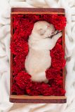 Cute labrador puppy dog sleeping in a box with flowers royalty free stock photo