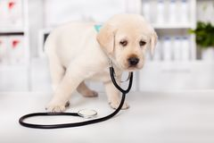 Cute labrador puppy dog wearing a stethoscope. Looking around with mistrust - standing on the table at the veterinary doctor office royalty free stock photography