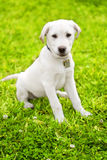 Cute Labrador Puppy On Grass Royalty Free Stock Images