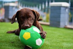 Cute labrador puppy in green grass on a summer day with ball stock photography