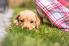 Cute Labrador puppy lying on grass looking into camera stock photo