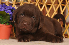 Cute labrador puppy lying portrait Stock Photography