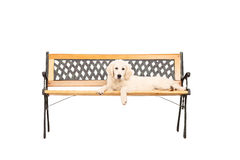 Cute Labrador puppy lying on a wooden bench Stock Photo